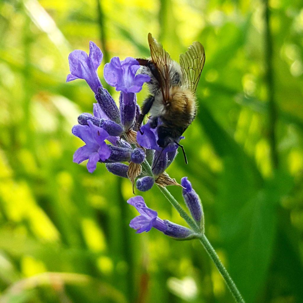 abeille-sur-fleur-lavande