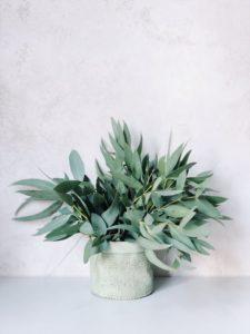 eucalyptus-dans-un-pot