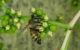 abeille-butine-fleur-de-vigne-vierge