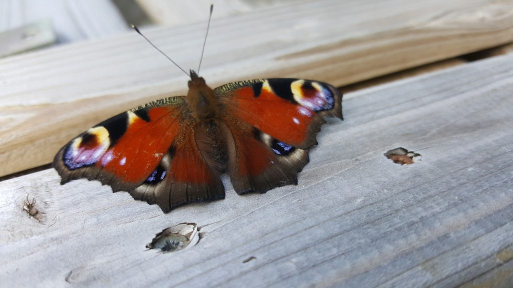 papillon-rouge-paon-du-jour