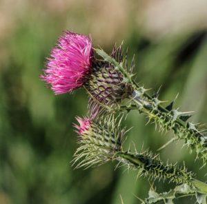 fleur-de-chardon-sur-tige