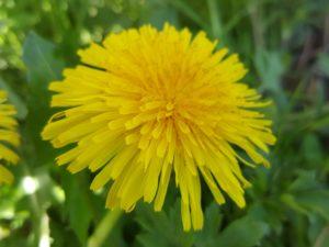 fleur-pissenlit-jaune