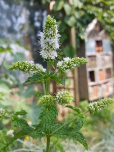 menthe-avec-hotel-à-insectes-dans-jardin-aromatique