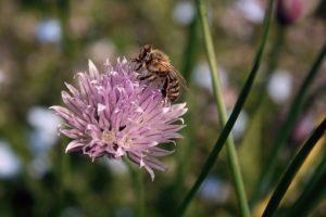 ciboulette-avec-abeille