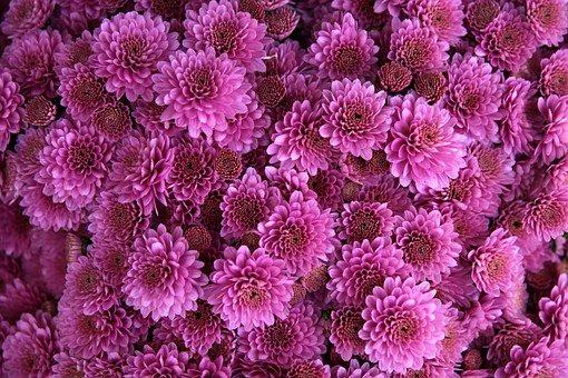 Chrysanthème plantes dépolluantes