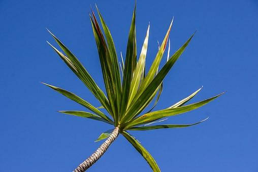 dracanea marginata plantes dépolluantes