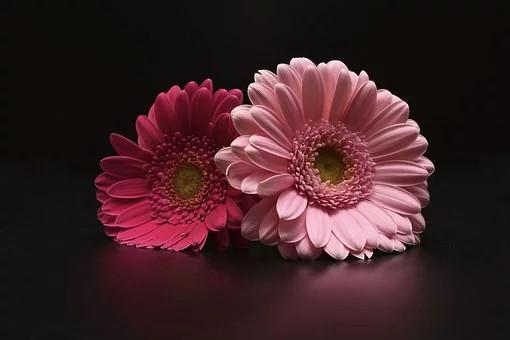 fleurs de gerbera plantes dépolluantes