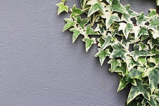 lierre plantes dépolluantes