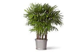 palmier bambou plantes dépolluantes