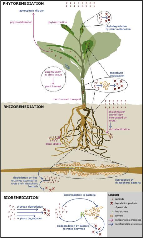 le cycle des plantes dépolluantes
